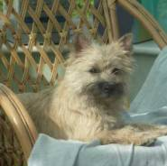 Cairn Terrier Clubs UK OLDER CAIRNS Web Page